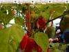 998-paprika-und-peperonie-nusslochs-schaerfstes-eck-9-jpg