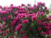 2194 - Rhododendron-Anlage HD - 1.jpg