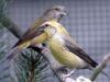 5790 - Vogelausstellung Sandhausen - 7
