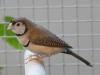 4403-vogelzuechter-leimen-4