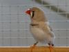 4403-vogelzuechter-leimen-6