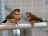 5820 - Vogelzüchter Leimen - 1