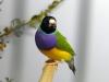 5820 - Vogelzüchter Leimen - 10