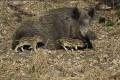 28. November: Achtung, HEUTE Drückjagd auf Wildschweine in Nußloch
