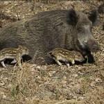 Revierübergreifende Schwarzwild-Drückjagd im Nußlocher Gemeindewald