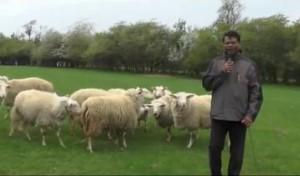 363 - Schafe