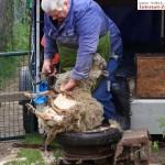 """Gnadenhof Nußloch: Das """"Glück im Schafspelz"""" wurde frisch geschoren"""