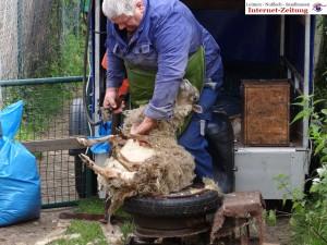 585 - Gnadenhof Sommerfest 1 - Schafe scheren