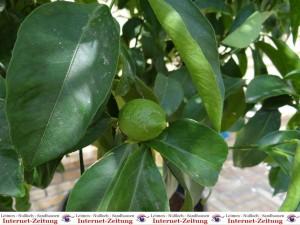 688 - Zitronenbaum 1