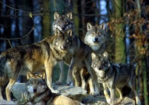 804 - Wildpark Bad Mergentheim Wolfsgruppe