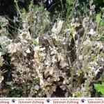 Jetzt Buchsbaumzünsler bekämpfen – Pflanzen regelmäßig auf Larven untersuchen