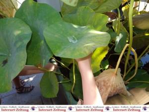870 - Botanischer Garten 1 Lotus