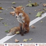 Kranker und schlauer Fuchs rettet sich zum Roten Kreuz (leider ohne Happy End)