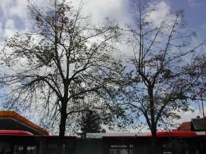2332 - Baumfällung KCL