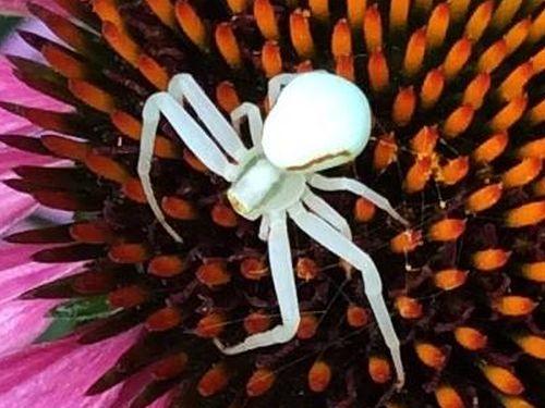 3984 - Spinnengetier Nussloch gross