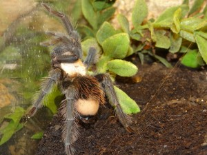4447 - Brachypelma albiceps - Mexico