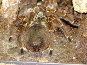 Vogelspinnen sind eine Familie in der Unterordnung der Vogelspinnenartigen