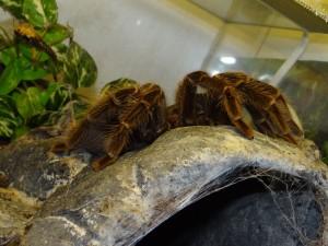 Vogelspinnen werden in der Regel in Einzelterrarien gehalten