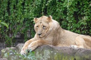 4518 - Löwe im Zoo