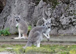 4588 - Känguru Jungtiere