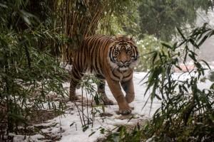 Sumatra Tiger im Schnee Zoo Heidelberg