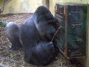 4805 - Gorillas 2