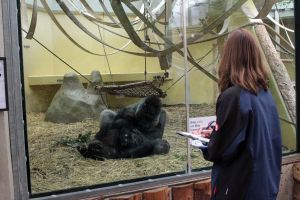 4805 - Gorillas