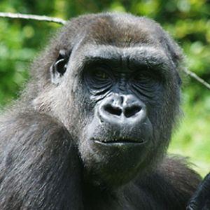 4882 - Gorilla Sheila 1