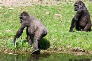 4882 - Gorilla Sheila 2