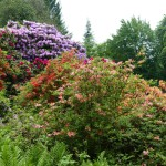 Ausflugstipp Heidelberger Arboretum und Rhododendron-Anlage: Die Blüte beginnt