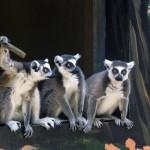Drei Kattas beziehen das frisch renovierte Gehege im Affenhaus