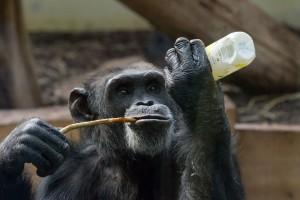 5378 - Henry 2 Schimpanse