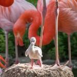 Flauschig, hellgrau mit großen Füßen: Kuckucksei im Flamingosee des Zoo HD?