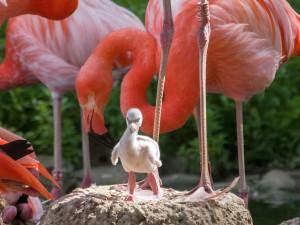 5417 - Flamingokueken 2
