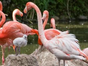 5417 - Flamingokueken
