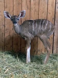 5547 - Kudu 1