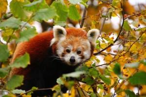 5889 - Kleiner Panda