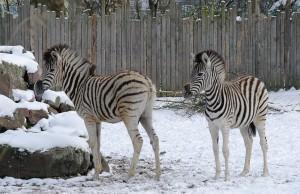 6595 - Zebras im Schnee