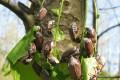 Kreisforstamt: Starkes Maikäferjahr erwartet – Förster wollen Baumsterben verhindern