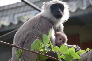 7028 - Lemuren