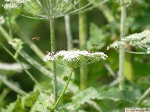 7652 - Herkulesstaude - Riesenbärenklau - Bekämpfung - 3 - Bienenweide