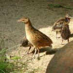 Junge Wachtelkönige im Zoo Heidelberg –  Kleine Küken werden ganz schnell groß