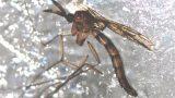 Die Tigermücke – Das gefährlichste Tier der Welt jetzt auch in Leimen?