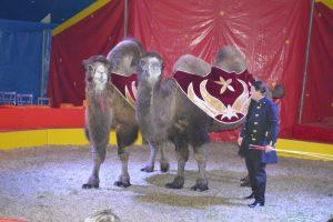 7873 - Circus Renz Kamele