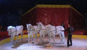 7873 - Circus Renz Pferde