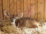 Nachwuchs bei Großen Kudus im Zoo – Afrikahaus vorübergehend geschlossen