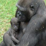 Zoo HD: Nächste Woche geht der kleine Gorilla Kwame auf Reisen