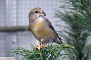 8010-vogelzuechter-sandhausen-vogelschau-kiefernkreuzschnabel