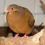 Nußloch: Taubenverschläge aufgebrochen und 13 Tauben gestohlen