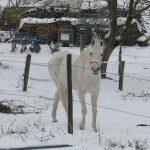 8335-winter-schnee-impressionen-2-pferd-schimmel